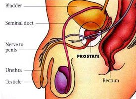 Location of the Prostate Gland