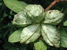 Kola nut fruit