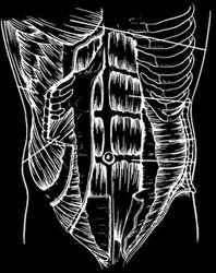 Anatomy of the Obliques
