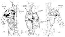 Anatomy of the Deltoids