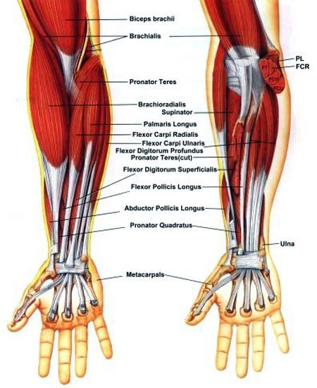 """have found that forearms are a typical """"more is less"""" type of muscle"""