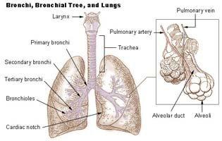 bronchial tree