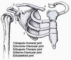 Shoulder Joints Of The Shoulder.