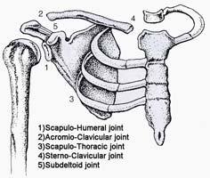 Shoulder Joints Of The Shoulder.