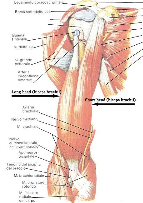 Triceps Brachii And Biceps Brachii