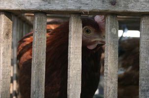 Many Animals That Are Raised For Food For People In The U.S. Don't Live Outdoors.