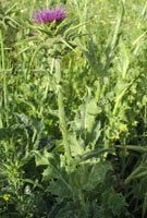 Milk Thistle Is A Plant Originally From Southern Europe And North Africa.