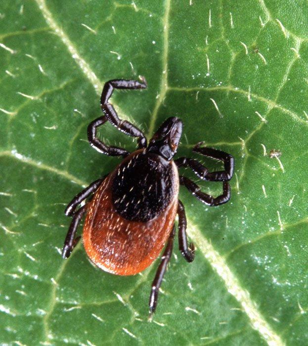 Lyme disease in humans - photo#39