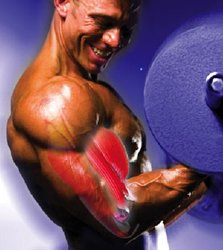 Optimal Training For Bodybuilders Interested In Maximum Size Should Emphasize The 2As.