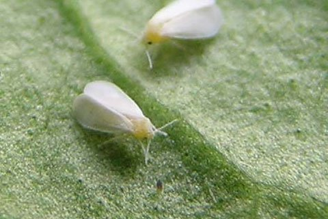 Whiteflies Often Secrete A Mucous Onto The Plant Which Results In Fungus And Other Bacterial Growth.