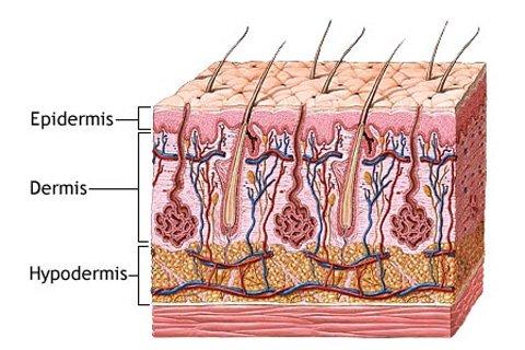 Diagram 1: Skin Layer Anatomy.