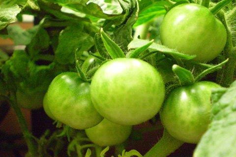 Da jardinagem e de cultivo chamada tradicional dos métodos frequentemente para produtos químicos tóxicos às ervas daninhas das matanças nos jardins e nos campos