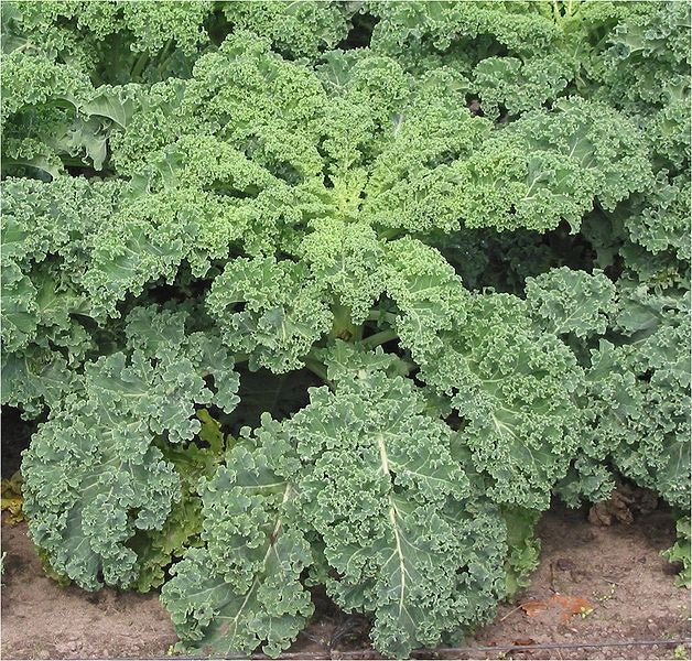 One Cup Of Kale Provides Over 1000% Of Your Daily Needs Of Vitamin K.