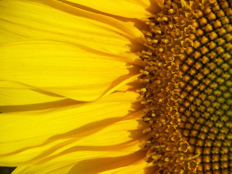 Linoleic Acid Is Naturally Found In Sunflowers