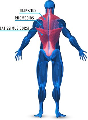 Back Muscle Anatomy Bodybuilding