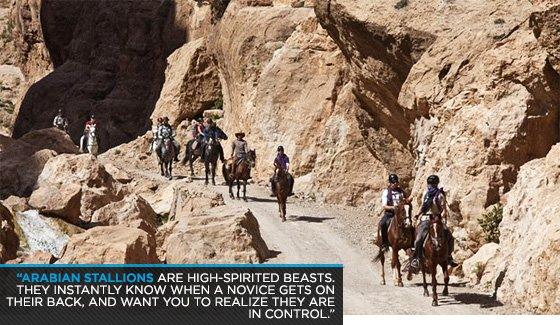 Arabian stallions are high-spirited beasts