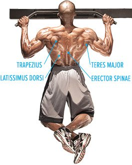 Knowing What A Muscle Does Is Critical To Training It Correctly With That In Mind Lets Take Look At The Anatomy Of Back