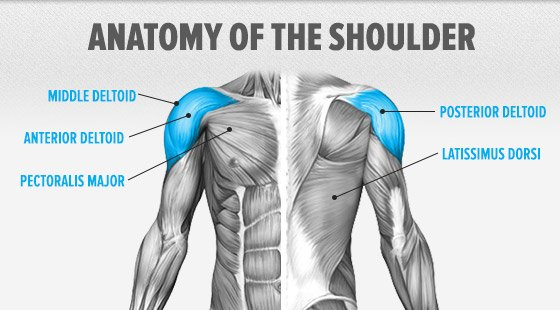 A wide array of muscles of particular interest to bodybuilders traverse the shoulder including: pecs, lats, delts, and even the biceps.