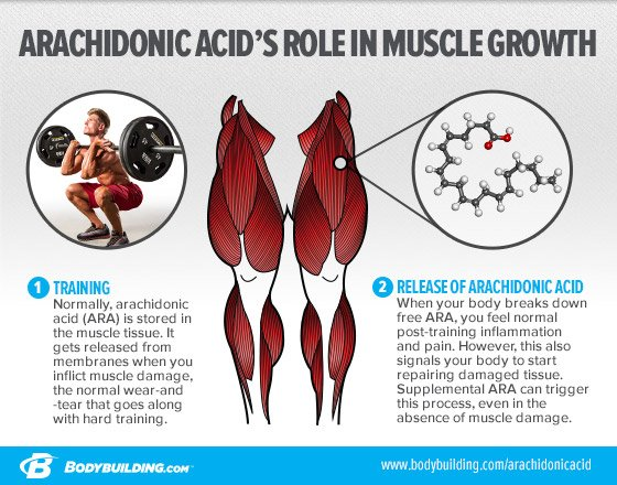 Arachidonic acid for muscle growth