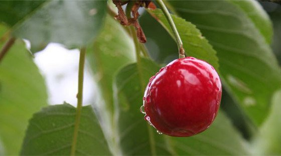 The anthocyanins in cherries promote reduced inflammation and help reduce DOMS.