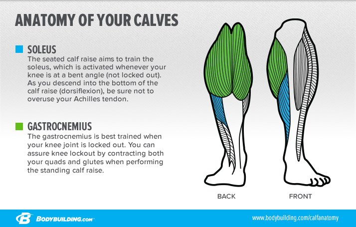 As I Explained In Six Major Mistakes Limiting Your Calf Growth Both Muscles Need Equal Attention To Produce Noticeable