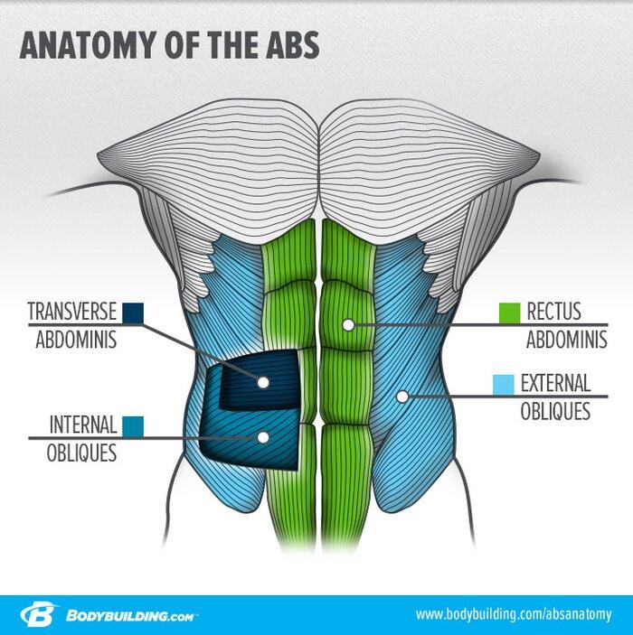 Infografía de anatomía de los abdominales