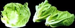 iceberg and romaine lettuce