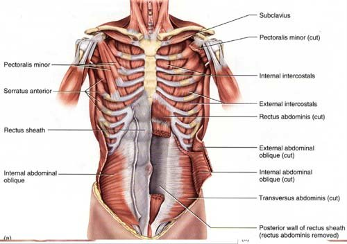 pectoralis major muscle diagram harmony of structure  amp  function the pecs  harmony of structure  amp  function the pecs
