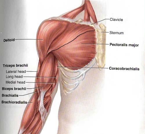 Harmony Of Structure & Function: The Pecs.