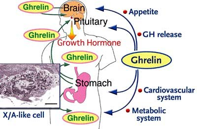 Would anyone know what the normal range for ghrelin and leptin levels in the body are?
