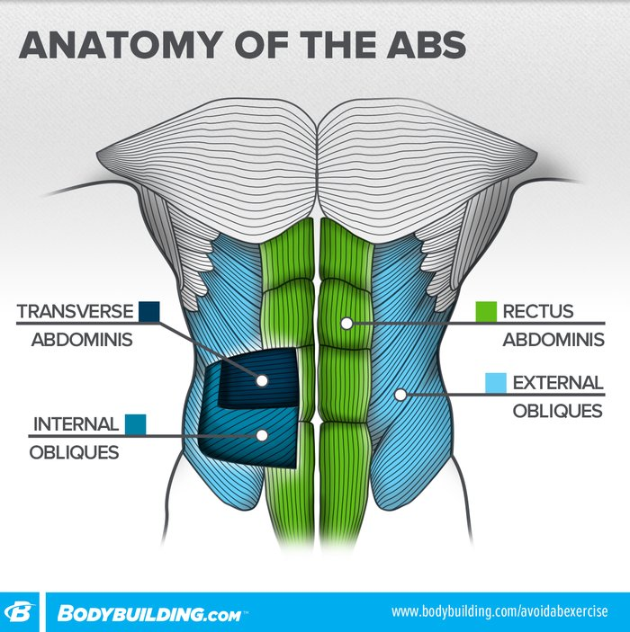 Anatomy Of The Abs Infographic