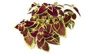 COLEUS EXTRACT (AS COLEUS FORSKHOLII)
