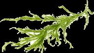 Laminaria Kelp