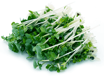 Broccoli Sprout