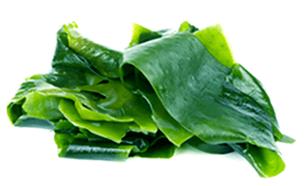 Kelp Leaf