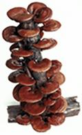 Ganoderma Lucidium | (Reishi)