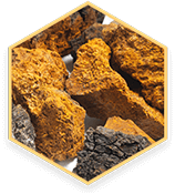 Chaga Mycelium